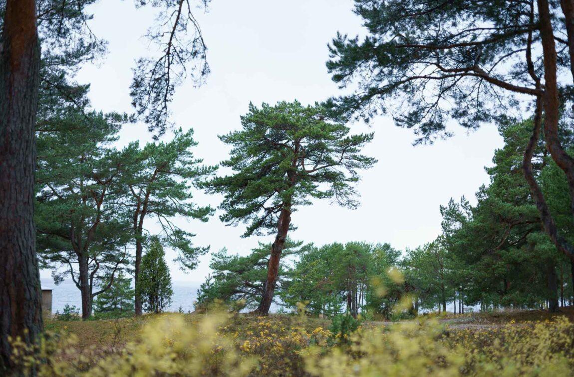 Pine forest I Laulasmaa