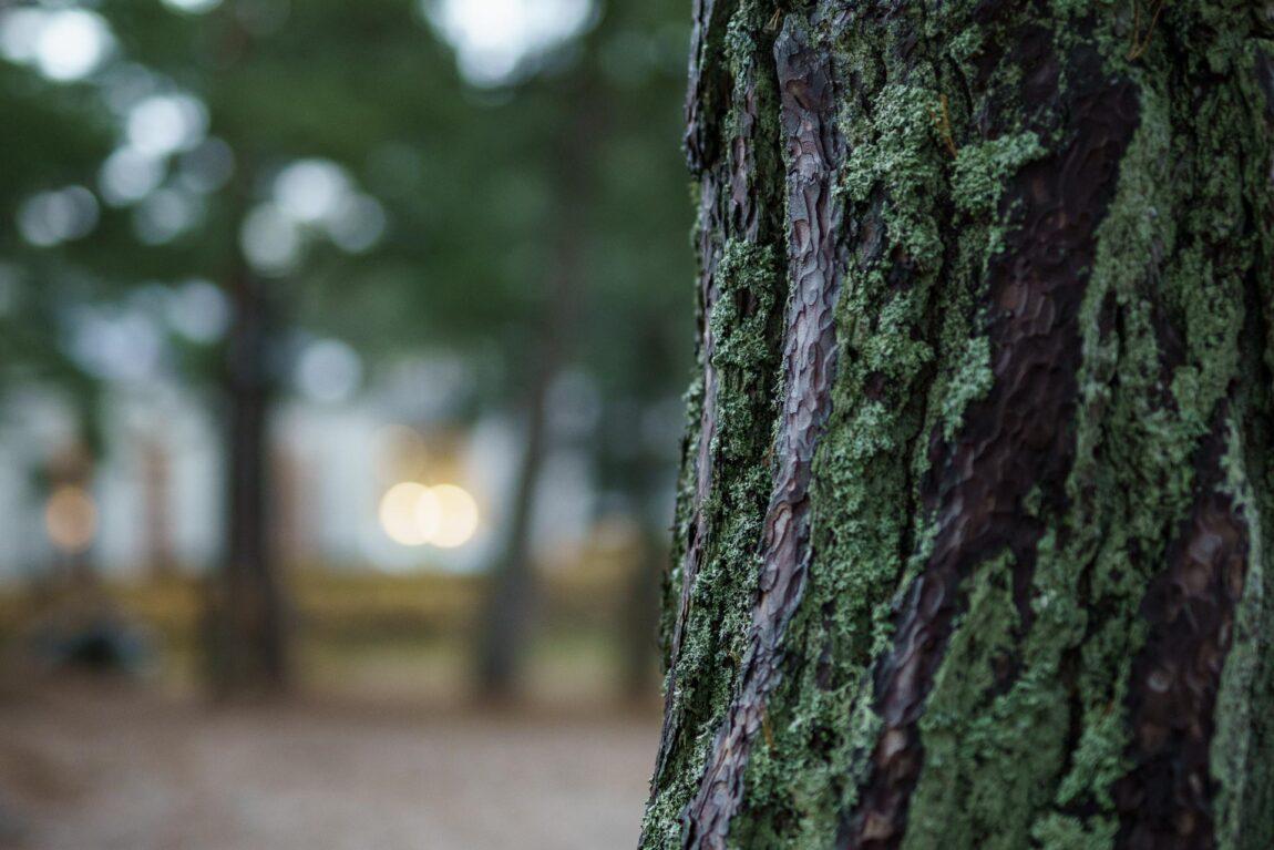 Laulasmaa nature I Pine trees